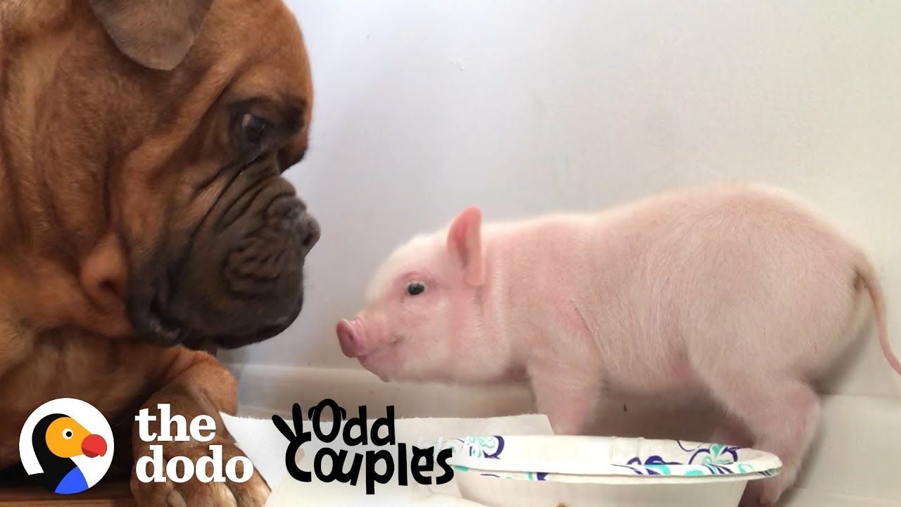 Animal Odd Couples Youtube watch this 135 pound dog fall in love with a tiny piglet | the dodo odd  couples