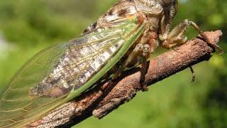 Байдахэ. певчие ЦИКАДЫ (cicada). часть №1 август 2015 год