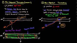 Transcription (Part 5 of 6) - Termination in Prokaryotes