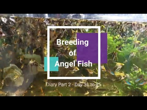 How To Breed Angelfish Successfully (Part 2): Angelfish Breeding Cycle