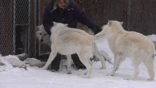 International Wolf Center - Dynamics and the Decision Making Process