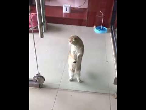 Dancing Cat Kitty Cat