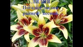 Лилия, как сажать. Посадка лилии ранней весной. Lily, how to plant. Planting lilies in early spring.
