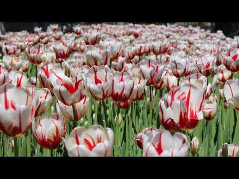 Montreal Botanical Gardens - Tulips Festival 2017 -