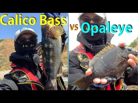 Calico Bass Vs Opaleye: Most Popular Fishing Spot In Palos Verdes