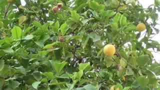 Лимонное дерево Lemon Tree