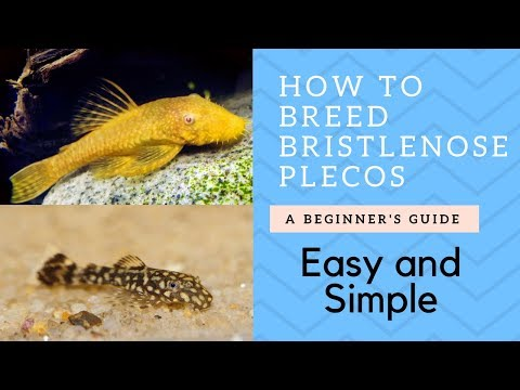 How To Breed Bristlenose Catfish (Plecos)
