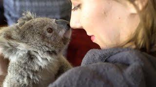 Good Morning Blinky ! (4K Koala)