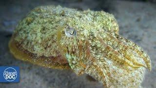 Cuttlefish | Nocturnal Predator