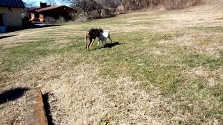 Grey Doberman Playing With Jack Russel Mix