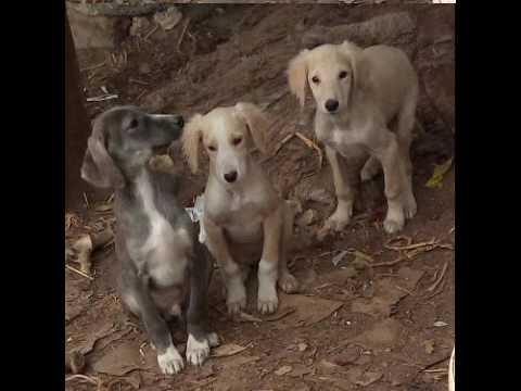 Сонник собака, ключевые значения снов в Соннике: собака.