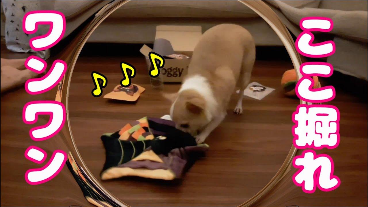 おもちゃに挟まったおやつを必死で掘り掘りする可愛らしい姿。DoggyBoxの美味しいおやつに大興奮ダンス♪