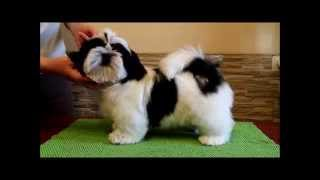 Shih Tzu Puppy White And Black Color. Kennel Chesvset Line