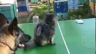немецкая овчарка и кот