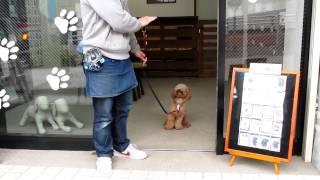トイ・プードルのバーディーくんのお散歩を紹介します♪ まずは扉の出入り...