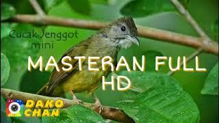 Download Mp3 Masteran Cucak Jenggot Mini Durasi Panjang Audio 100% Jernih