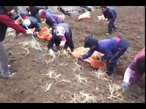 Thu hoạch Nhân Sâm Hàn Quốc bằng máy chuyên dụng- Bách Niên Khang