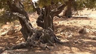 Ziegen, die auf Bäumen weiden,  Arganen und Euphorbia. Nature&Music-Project