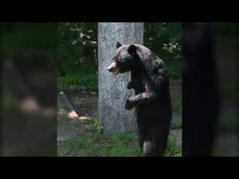 Autoridades de Estados Unidos dan por muerto a Pedals, el oso bípedo