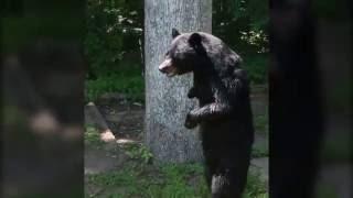 Pedals bipedal bear sighting thumbnail