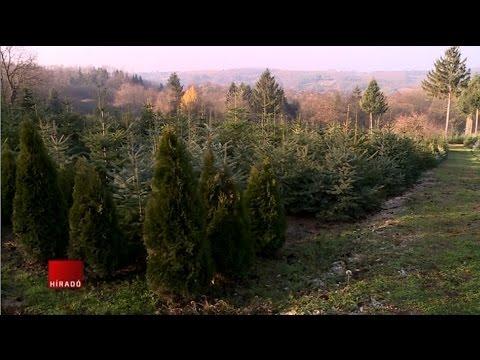 Karácsony - Elkezdték a fenyőfák kivágását letöltés