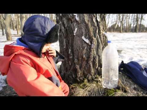 Вопрос: Как (правильно ) собирать берёзовый сок, чтобы дереву не навредить?
