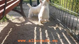Alborada Miss Daisy, una cachorrita westy jugando con gatos
