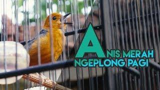Video Anis Merah Ngeplong Pagi |HD| Cocok Untuk Masteran download MP3, 3GP, MP4, WEBM, AVI, FLV Juni 2018