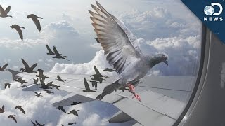Why Birds Can't Stop Flying Into Things