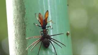 アシダカグモを狩るベッコウバチ Tarantula hawk