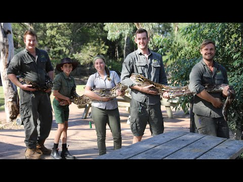 Australia's largest python in captivity gets a weigh-in