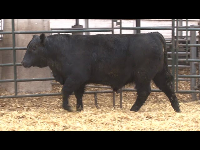 Schiefelbein Angus Farms Lot 163
