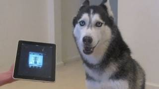 Husky Dog Sings with iPAD - Better than Bieber! (now on iTunes!) thumbnail