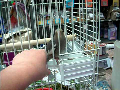 hand-reared-cockatiels-for-sale