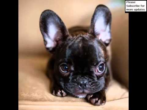 Dog Breed French Bulldog Set Of Pictures | French Bulldog Dogs