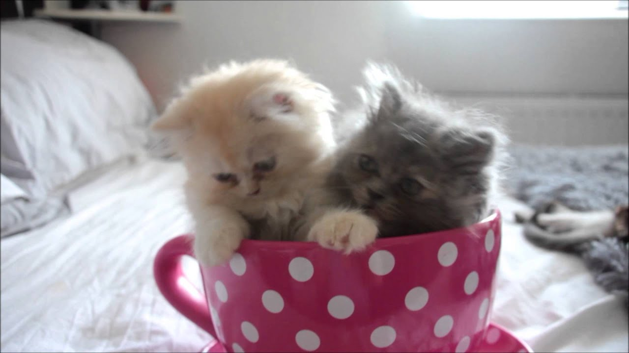 ♡ Kittens In A Teacup ♡ - YouTube