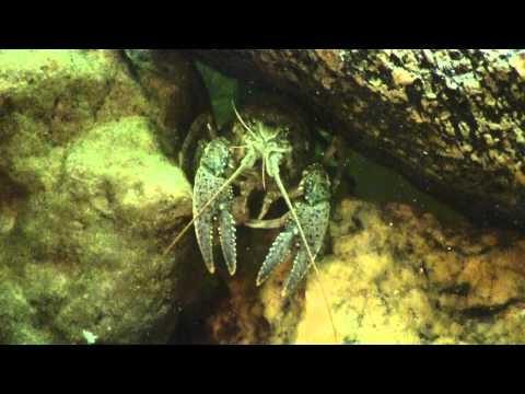 Crayfish eats a pellet of fish food