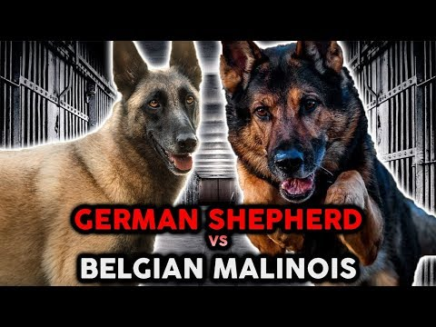GERMAN SHEPHERD VS BELGIAN MALINOIS! The Best Guard Dog Breed!