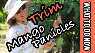 What To Do Now | Trim Mango Panicles
