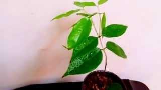 售1200元,夏威巨無霸樹葡萄-全世界最新大品種-非肯布卡麻吉果 江暉0929618311