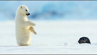 Polar Bear Cub Plays With Snowballs