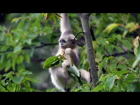 Seven golden hair monkeys born in SW China