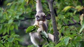 Seven golden hair monkeys born in SW China thumbnail