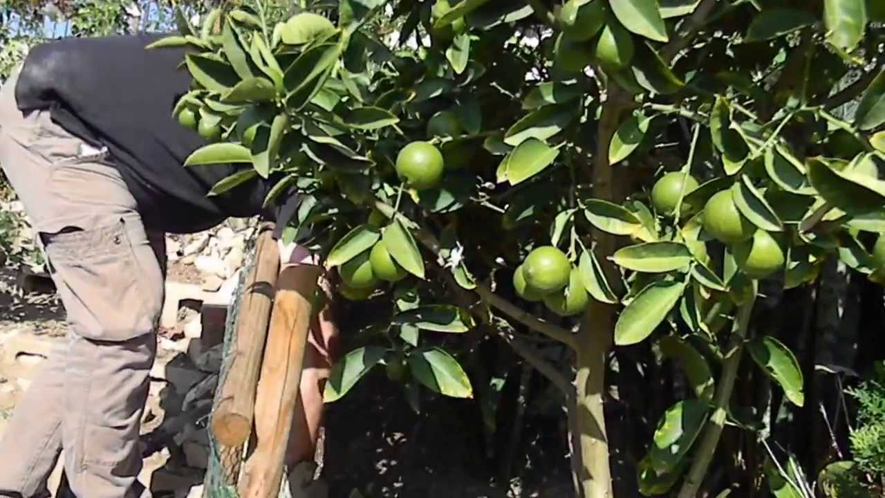 bearrs lime tree trimming and care