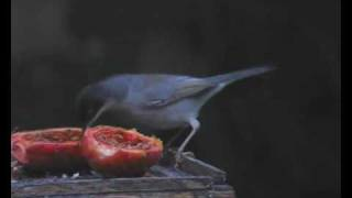 Sardinian Warbler feeding on Prickly Pear