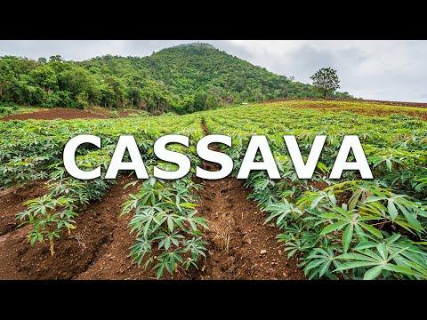 Cassava in Thailand By Plantations International