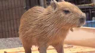 カピバラ 初めてのお風呂 須坂市動物園