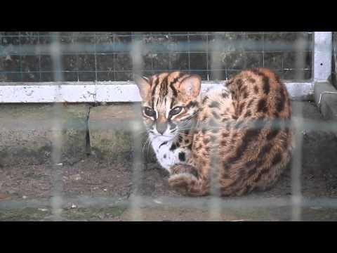 Kucing Hutan Felis Bengalensis Funnycat Tv