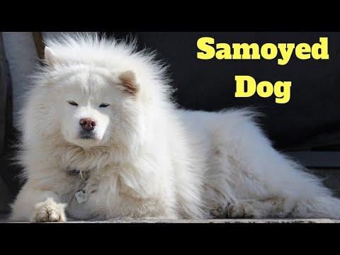 Amazing Facts on Samoyed Dog | In Hindi | Dog Facts | Animal Channel Hindi