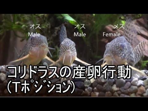 産卵 コリドラス